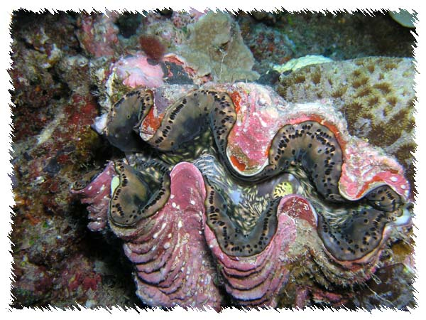 Giant Clam from Palau
